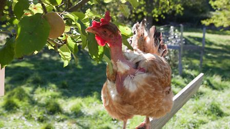 An orchard comes pretty close to a chicken's natural environment.