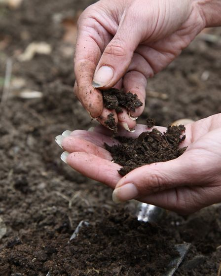 The resulting dark, crumbly earth-smelling material of composted chicken manure is returned to the s