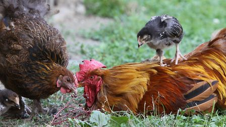 Mother Hen and her chicks spending time with a sick rooster.