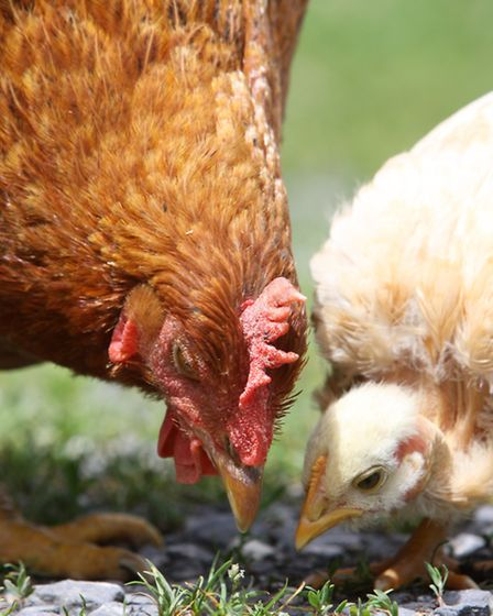 Chick learning the art of foraging from a broody hen.