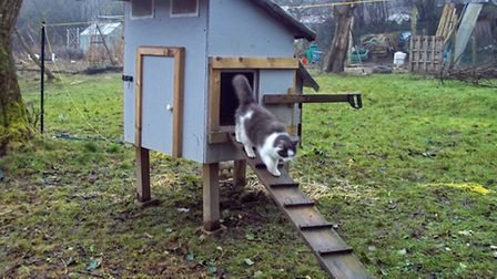 'Enry emerging from the chicken coop