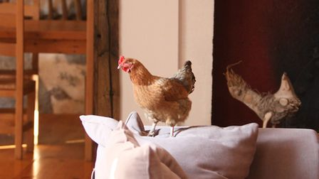 """A curious hen has now been trained not to cross the house threshold simply by saying """"No"""" in a stern"""