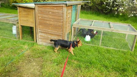 Trilby checks out the chooks