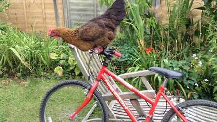 Laurie Stevenson's cycling chicken