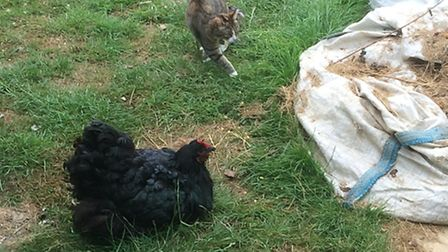 Squawks and Twizzle the cat. Squawks has gone broody