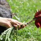A rooster ripping at a freshly dug dandelion root
