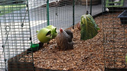 Fancy feeders, chipsin the run... and some veggie entertainment. The bird is silver- partridge
