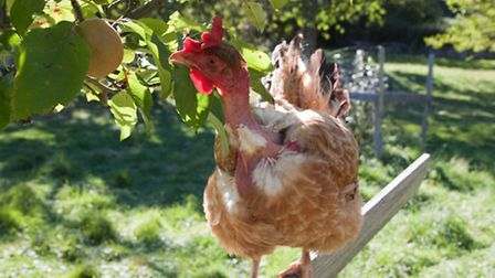 If you adopt a natural and holistic approach to the care and maintenance of your flock, using raw un