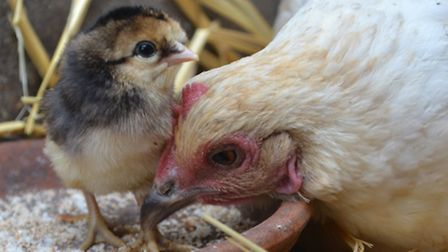 Florrie with one of her chicks