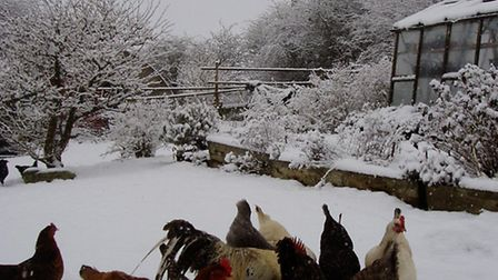 Do chickens understand that spring is coming?