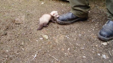 Stoats, polecats and ferrets will steal eggs if they can