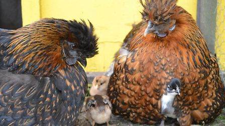 Two Silkie mums together