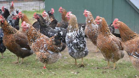A group of Swedish Flower chickens