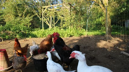 New cockerel Gregory Peck II, centre, with his admirers