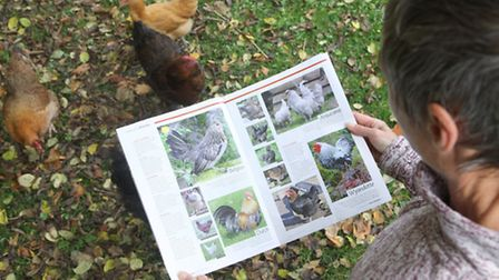 You read through the pages of Your Chickens and become acquainted with an attractive breed that you