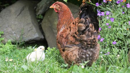 One solution is to stagger the introduction of pullets so you'll always have a mix of old, prime lay