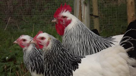 An exhibition quality trio of Large Fowl Light Sussex