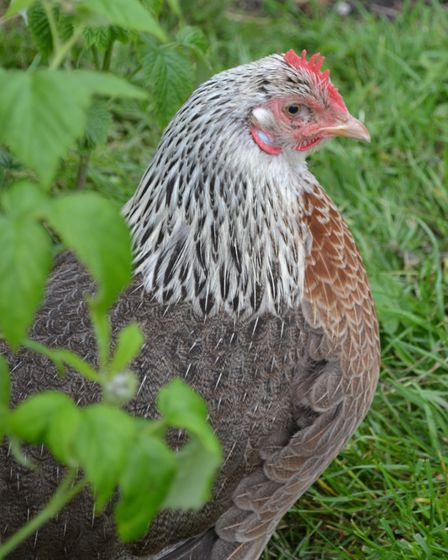 Hen with eye looking a lot better