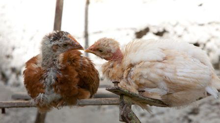 Sharing intimate photographs of your flock may inspire others to reflect and view chickens in a diff