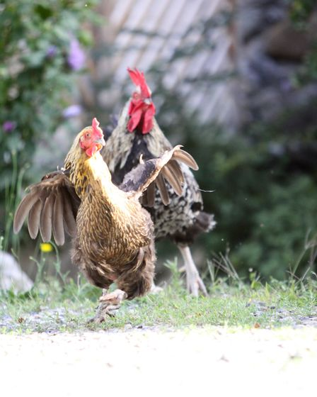 Capturing movement is one of the challenges when photographing chickens.
