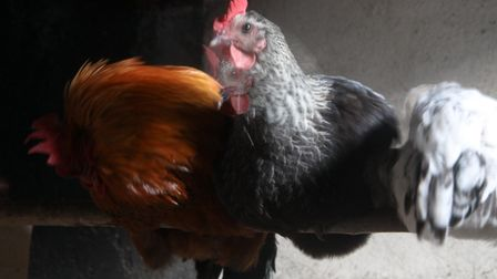 Shooting in low light? A slow shutter speed of 1 second will give a ghost effect when the hen moves