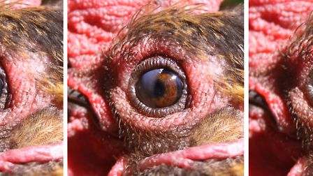 The nictitating membrane step-by-step
