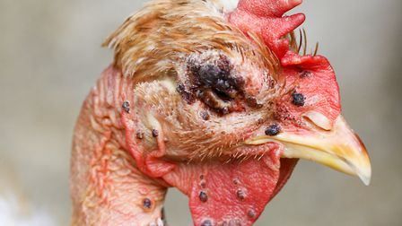 Black scabs around the eye, comb and wattles indicate avian pox