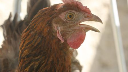This hen is panting to keep cool