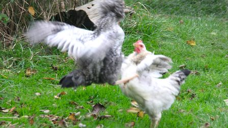 A scuffle to decide the pecking order - these cockerels are too young to hurt each other