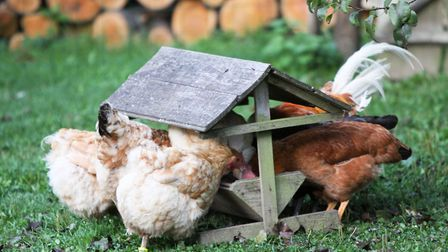 Your chickens need food daily (photo: Julie Moore)