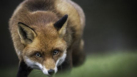 A fox nearly ruined my business