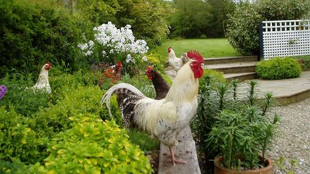 Chickens use this raised bed to avoid walking on the gravel