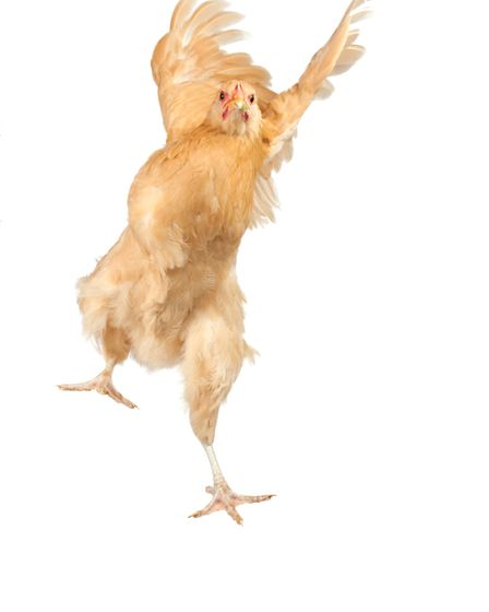 Chickens actively seek out happiness and pleasure. Their lives revolve around feeling good.