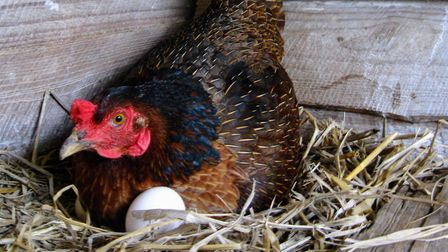 Should I allow my broody hen to stay in the nest box?
