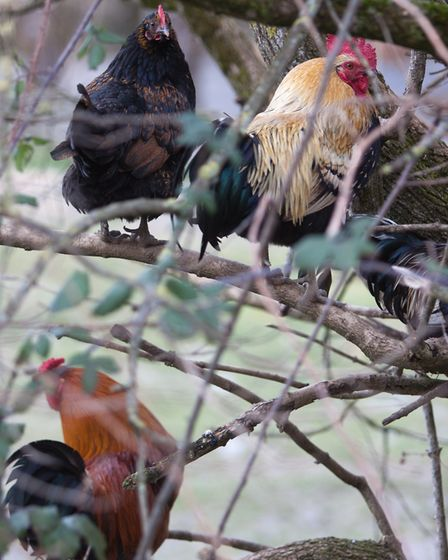 Alpha rooster and Alpha hen enjoy certain privileges such as the first choice of roosting spot (phot