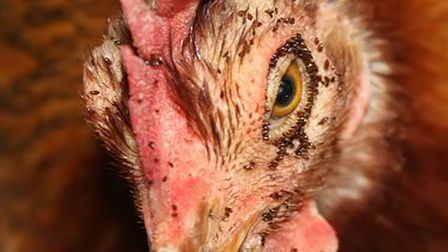Red mite can cause numerous problems in chickens