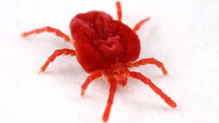 Red mite can cause numerous problems in chicken