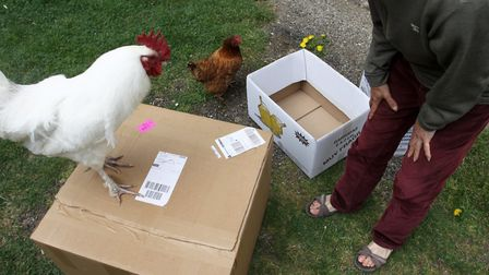 An alpha rooster chose his own travelling box (photo: Julie Moore)