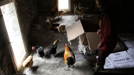 I unpacked the chickens in reverse order so that Alpha Rooster was last out (photo: Julie Moore)