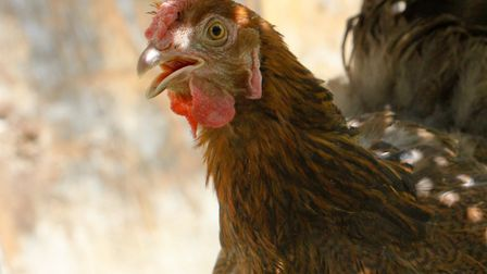 By panting a hen drives off body heat in the form of water vapour (photo: Julie Moore)