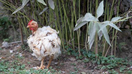 Avoid stressful things during the moult, such as moving chickens to a new coop (photo: Julie Moore)