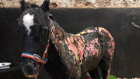 Phoenix, the foal was left fighting for his life following an arson attack.
