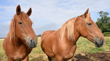 Two Suffolk Punch horses at Jimmy's Farm are in foal and are due nextMay