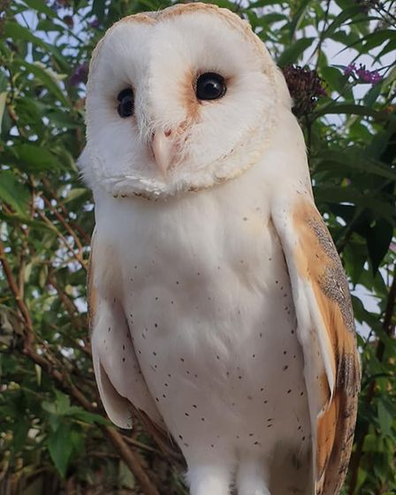 Bo, an adult female barn owl went missing from Coronation Avenue in Whittlesey around 2:30pm on Thursday (August 26).