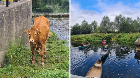 Great Cornard cow has been rescued after being stuck in a river nearBakers Court