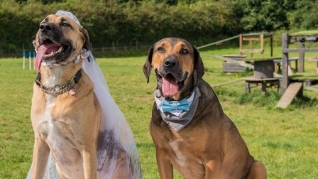 Dogs Ziva and Frixo after their dog wedding in Great Dunmow, Essex