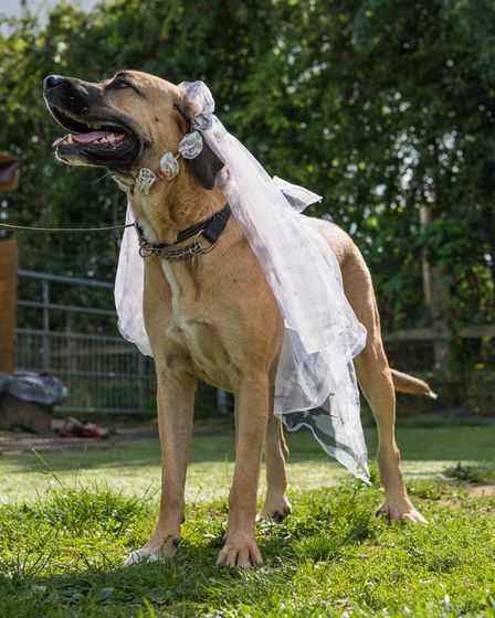 Dog Ziva in a bridal veil on her wedding day in Great Dunmow, Essex