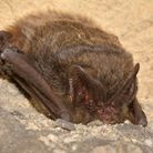 The barbastelle bat would have its habitat disturbed by the proposed Western Link