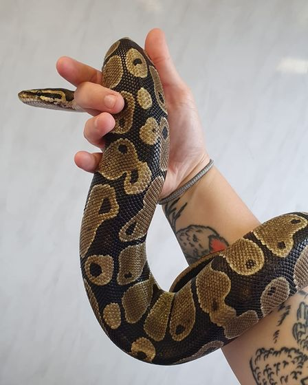 The royal python is currently being cared for at Suffolk Exotic Vets