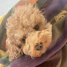 Ruby the poodle... sadly dies after being savaged by dogs in Bartlett Park